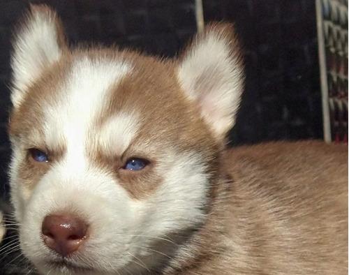 Husky Siberiano, Filhote Fêmea