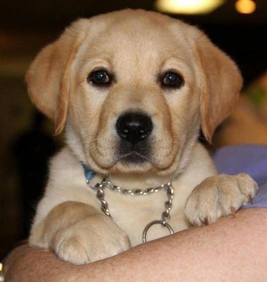 Cachorro Labrador Mirada Beautiful Puppies