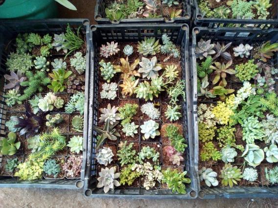 Pack De 30 Suculentas Y Cactus