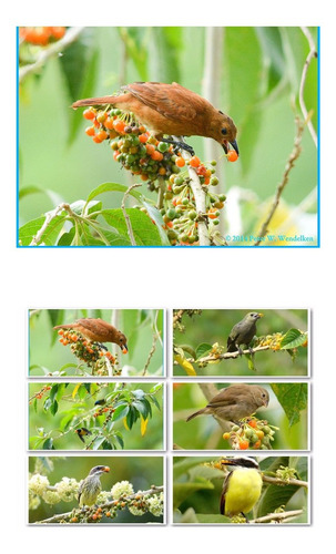 25 Sementes Fruta De Sabiá  Alegria Dos Pássaros Marianera
