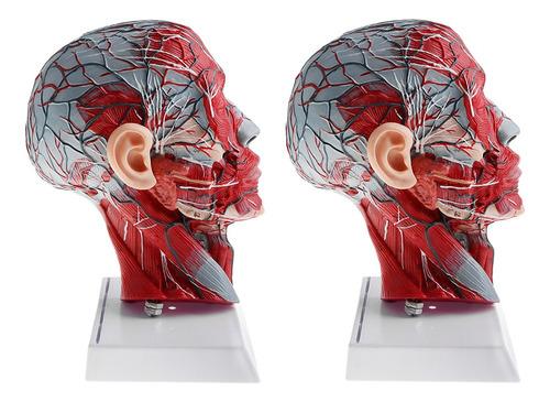 Imagen 1 de 6 de 2 Piezas Modelo Anatómico De Distribución Vascular Nervio