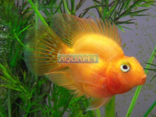 Peixe Papagaio Pequeno Sem Cor