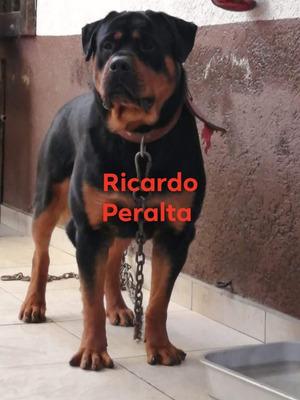 Rottweiler Disponible Para Montas