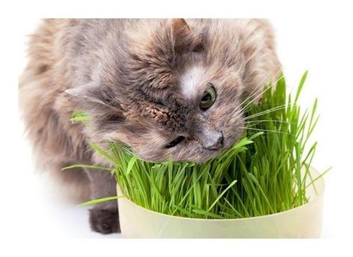 Grama Dos Gatos A Verdadeira  Frete Gratis 1002 Sementes