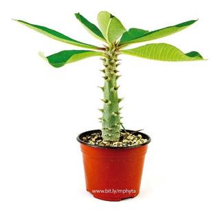 Pachypodium Baronii (flor Roja) Mayoreo - 6in (5 Piezas)
