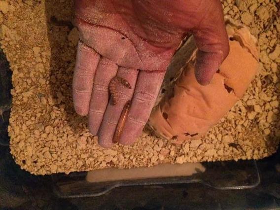 Tenebrios Gigante 200 Larvas 90,00