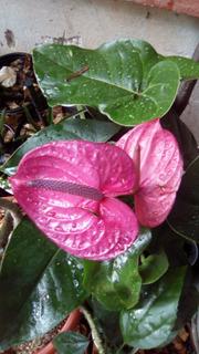 Anturio Planta. Hay 10 Colores(pregunta Por Disponibilidad)
