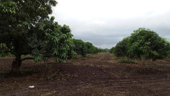 Huerta De Mango En Producción Papanoa Gro.