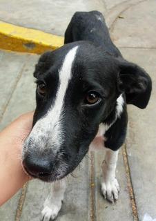 Perrito Cachorro Blanco Y Negro 9 Mss En Adopciòn Responsabl
