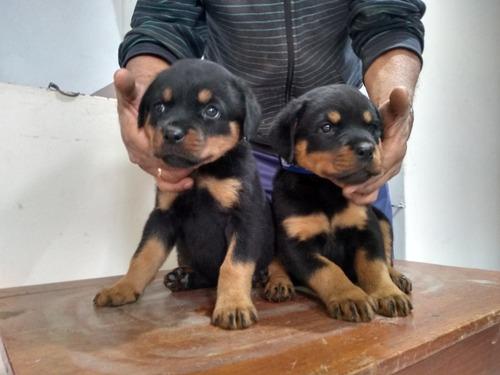 Imagen 1 de 7 de Cachorras Rottweiler