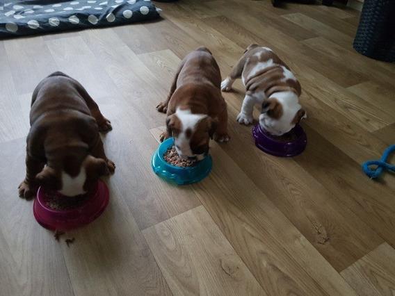 Cachorros Bulldog Inglés Para Adopción
