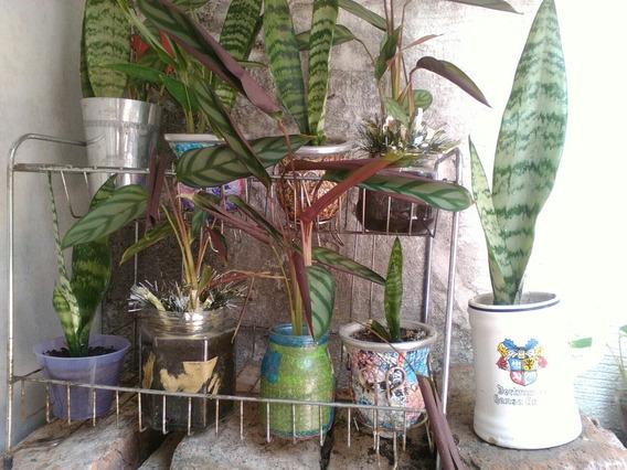 Plantas De Interior Decorativas Calathea O Lengua De Gato