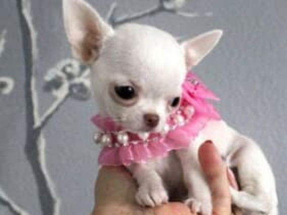 Chihuahua Mini Hembra Blanca Soñada De 70 Días