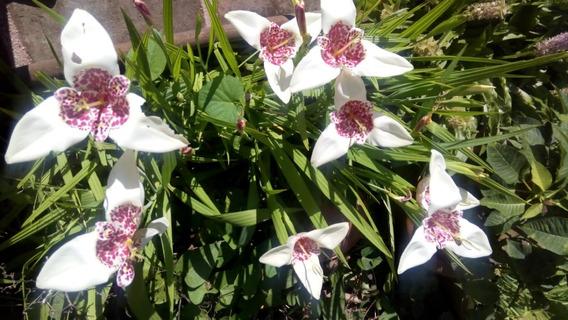 Bulbos De Flor Tigridia Color Blanco 5 Bulbos