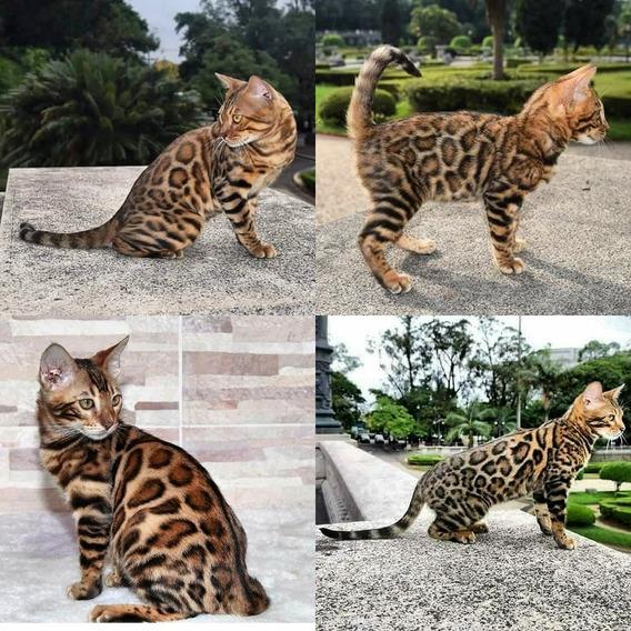 Gato Bengal Linhagem Incomparavel