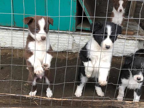 Imagen 1 de 5 de Cachorros Border Collie