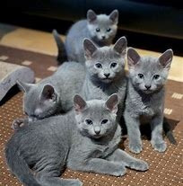 Gato Azul Ruso Cachorros