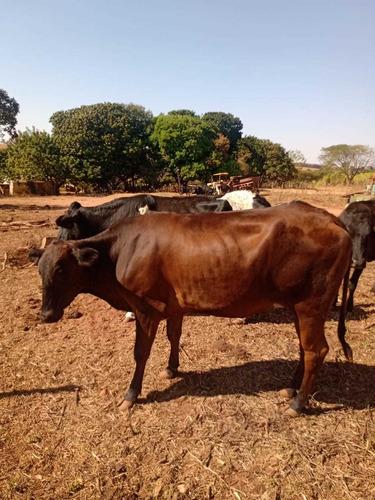 Vacas De Leite/novilhas Girolanda/ Bezerros