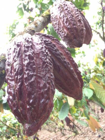 Finca Productora De Cacao; Finca Cacaotera