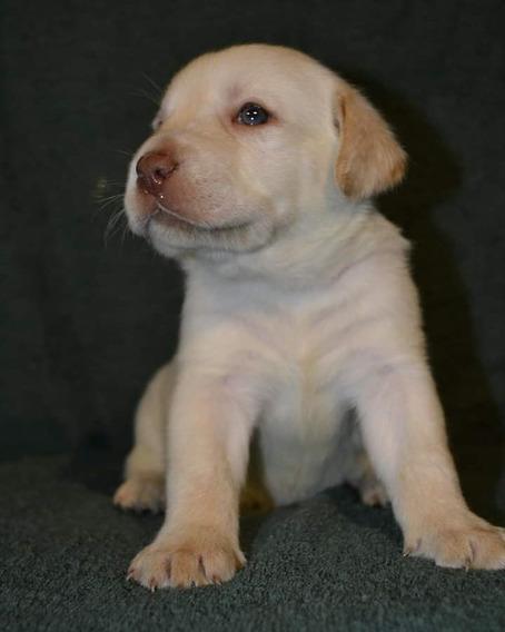 Cachorros De Labrador Arenas Y Chocolates Calquin