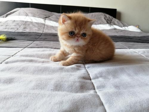 Gatos Exoticos Para Cria Y Mascota