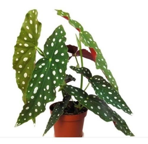 Begonia Maculata (ala De Ángel)