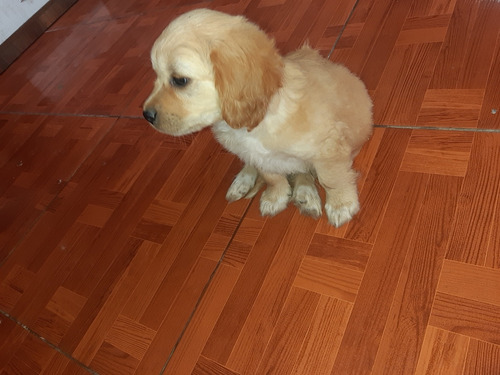 Se Vende Labrador Cachorro