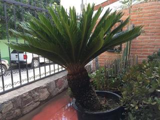 Palmas De Sagú (cyca Revoluta) Cycas Grandes