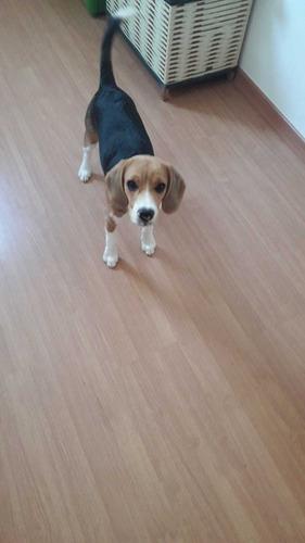 Imagem 1 de 4 de Cachorro Beagle