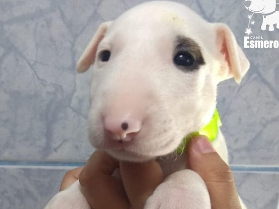 Filhotes De Bull Terrier Inglês Disponíveis Para Entrega