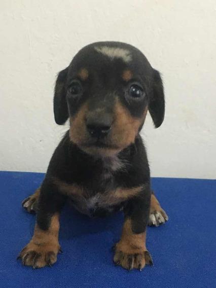 Salchicha Mini Arlequin Cachorro Macho Dachshund Teckel