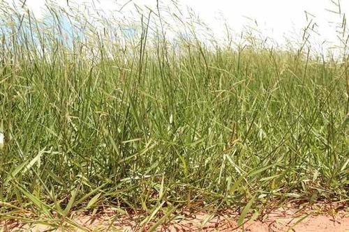 Brachiaria Dictyoneura O Pasto Llanero 100% Bolsa 1 Kilo