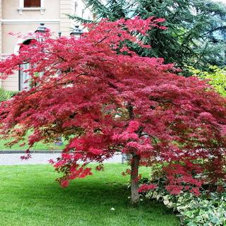 Maple Palmatum ( Arbol ) Planta Grande 1 M *