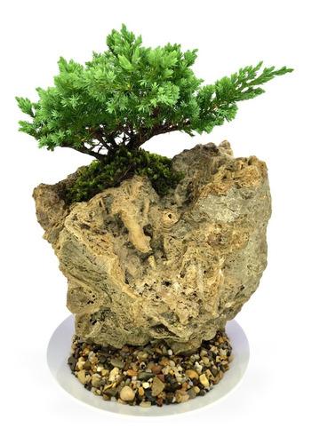 Bonsai En Piedra Fósil Variedad Pino Nana 4 Años De Edad