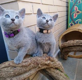 Gatitos Azul Ruso Hembras