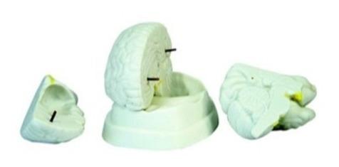 Modelo Anatómico Cerebro Humano
