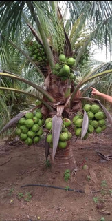 Palma De Coco Palmera Enano Enana Verde De Brasil Siemb