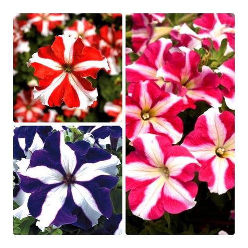 Imagem 1 de 1 de 100 Sementes De Petunia Estrela Estrelada Flor Para Vasos