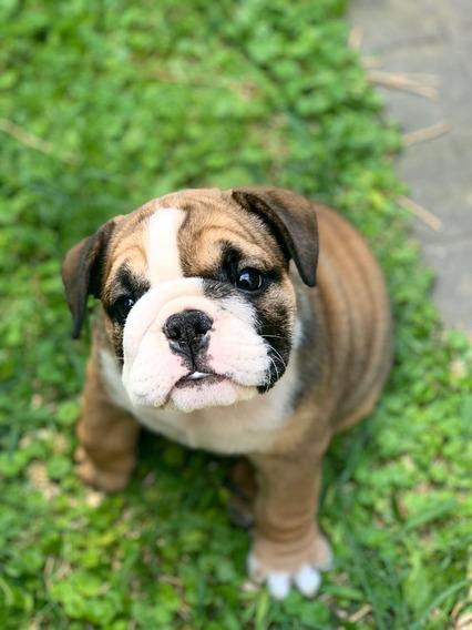 Bulldog Ingles Cachorros Listo Para Entregar Excelente Fca!!