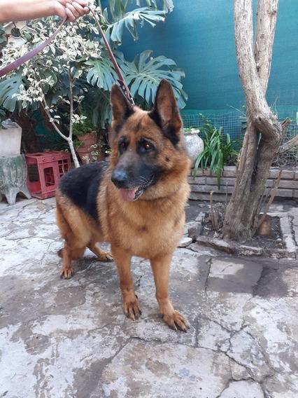 Cachorro Ovejero Alemán