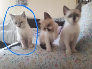Siames Gato Gatito Gatitos Siames