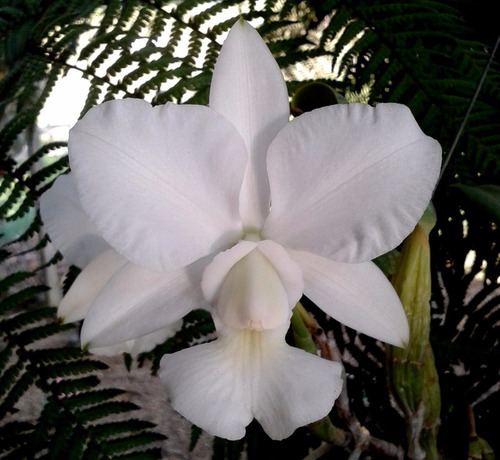Cattleya Walkeriana Alba Equilab  - Original Adulta