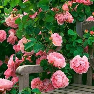 Semillas Rosas Trepadoras Flamingo (rosaceae)