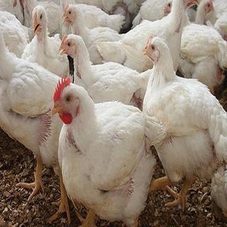 Pollos De Campo Pastoriles