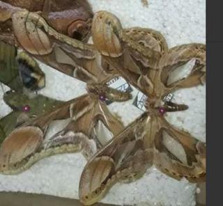 Mariposas Nocturnas-polillas