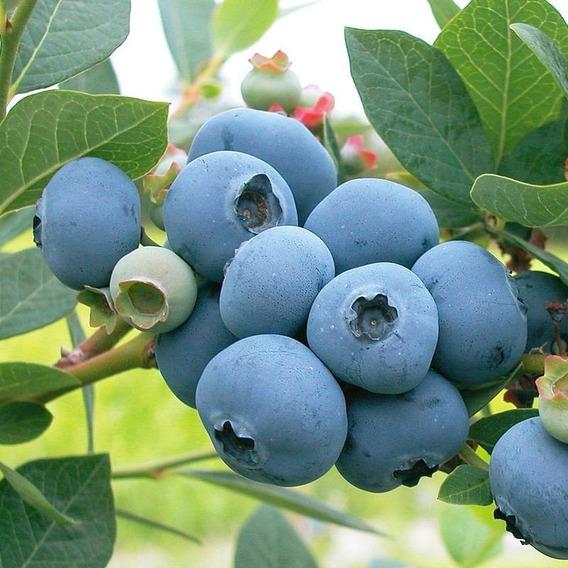 Muda De Mirtilo Blueberry Precoce Espartan Produz Cedo