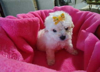 French Poodle Mini
