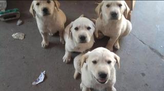 Labrador Retriever Envíos Y Entregas A Todo El País