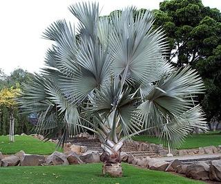 Palma Bismarck Plateada (bismarckia Nobilis)
