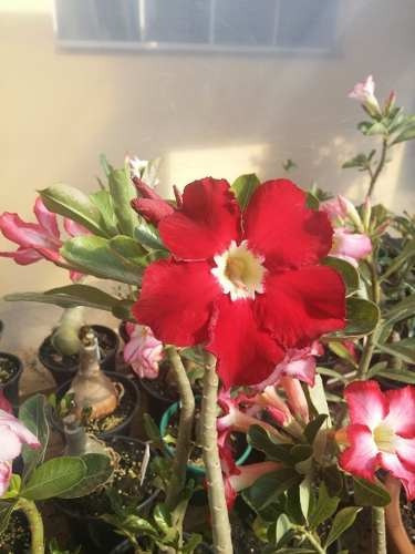 1 Muda Rosa Do Deserto Simples,30/40 Cm Branca, Rosa, Vermel